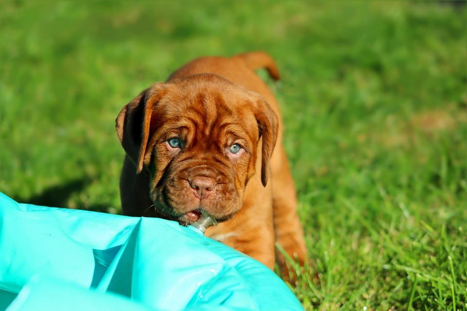 puppy-742620_960_720