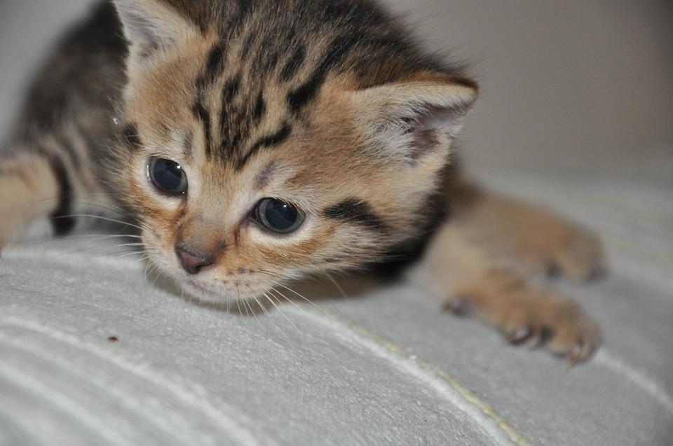 pussy-cat-216062_960_720