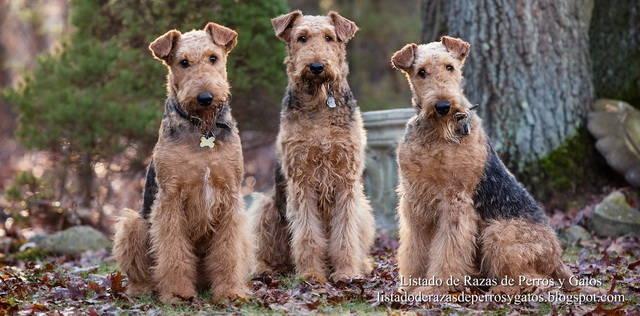 Raza de Perro Airedale Terrier