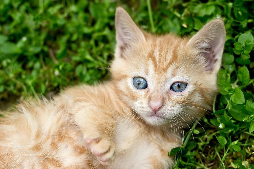 Cómo saber la edad de mi gatito