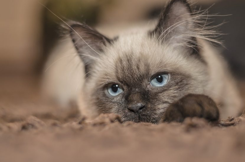 Por qué mi gato no me hace caso