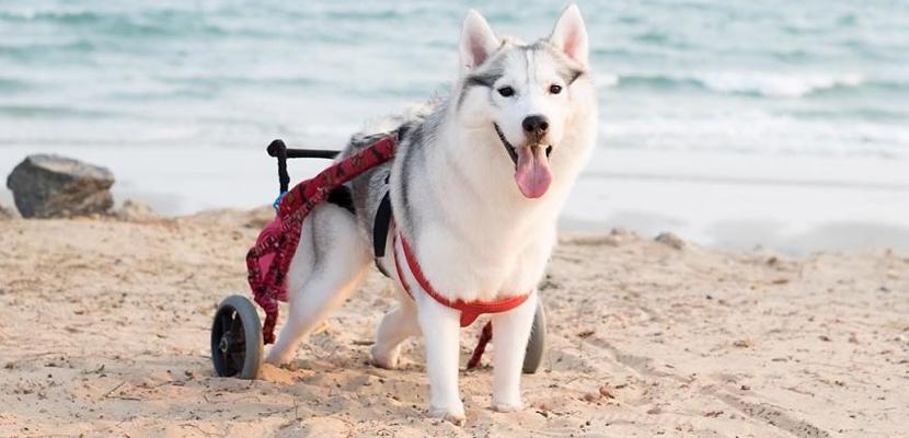 La Husky en silla de ruedas que conquista Internet