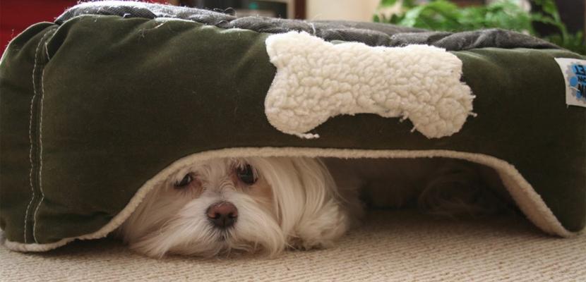 Qué hacer si el perro tiene miedo de ruidos fuertes