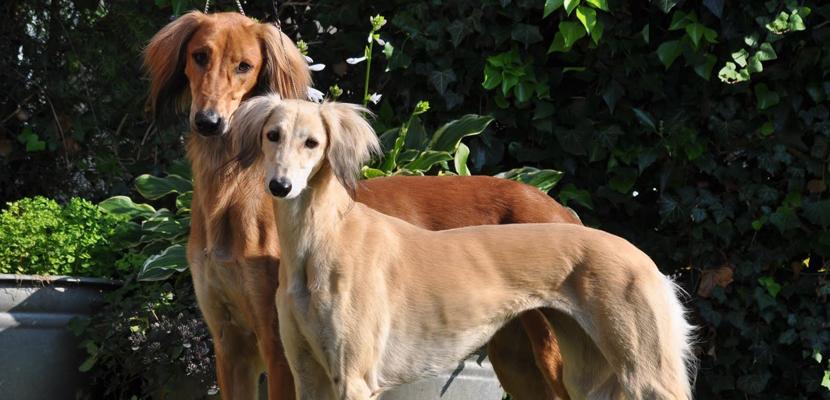 Saluki, el perro real de Egipto