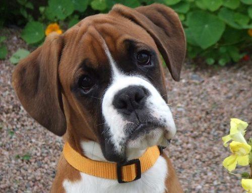 Chops, el perro indignado con su dueño que se ha hecho famoso en Internet