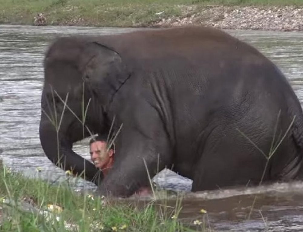 Un joven elefante se tira al río para salvar a su cuidador