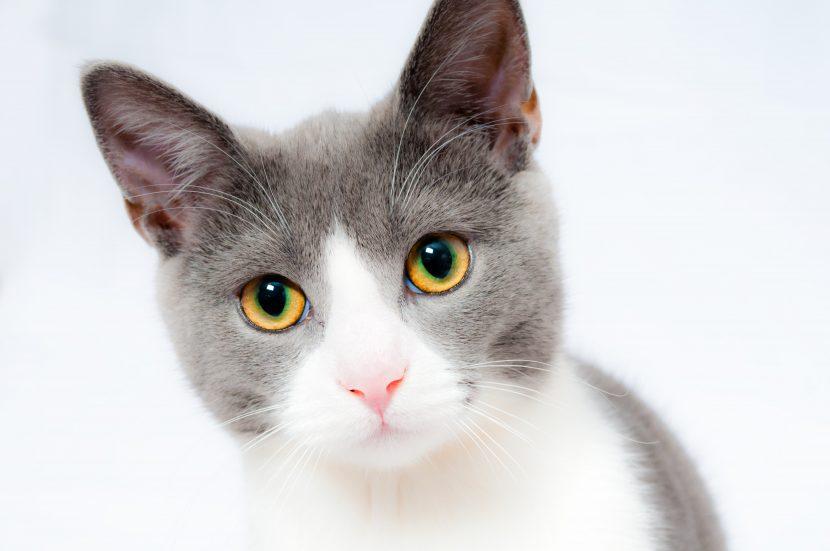 Cuándo se puede quedar embarazada una gata