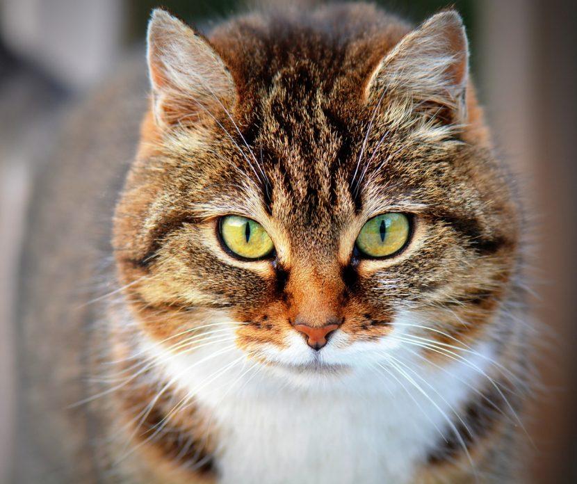 gato-atigrado-adulto-830x696