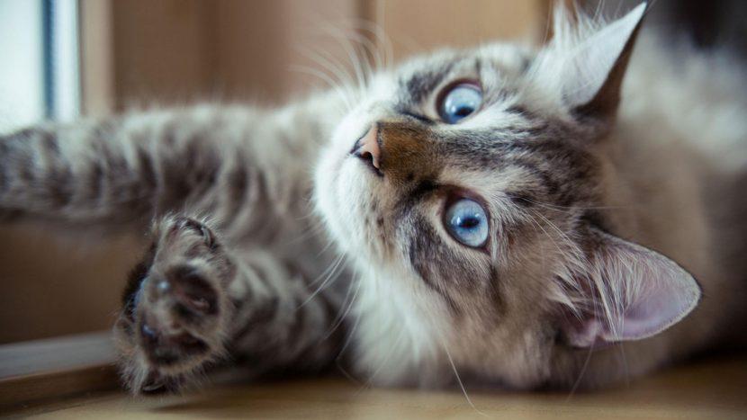 gato-divertido-tumbado-830x467