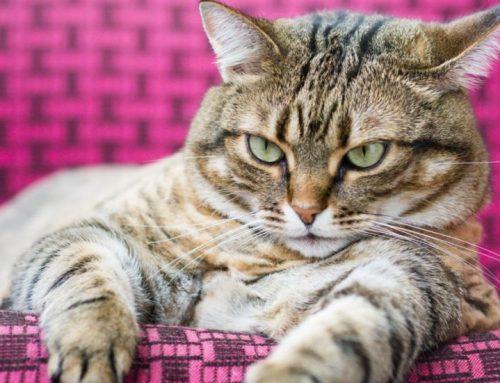Cómo ayudar a bajar de peso a un gato gordo