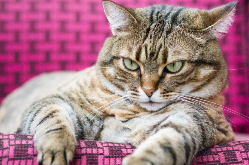 gato-gordo-830x551
