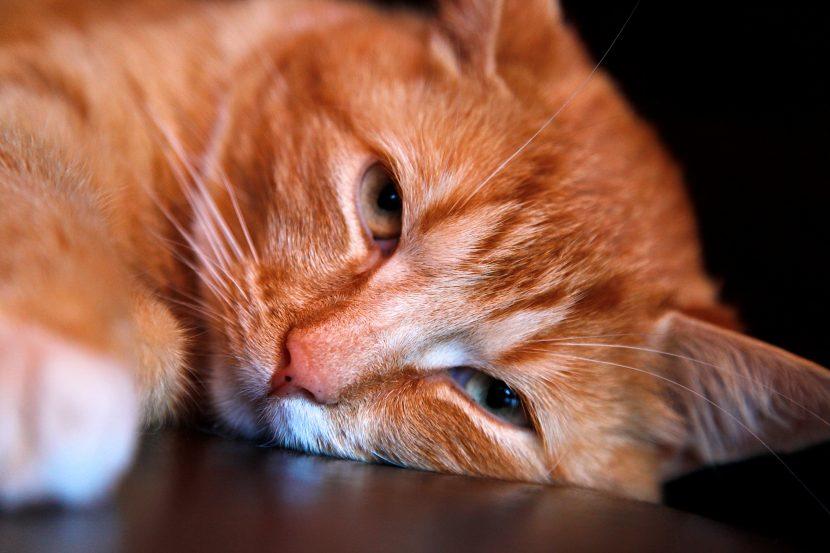 gato-naranja-830x553