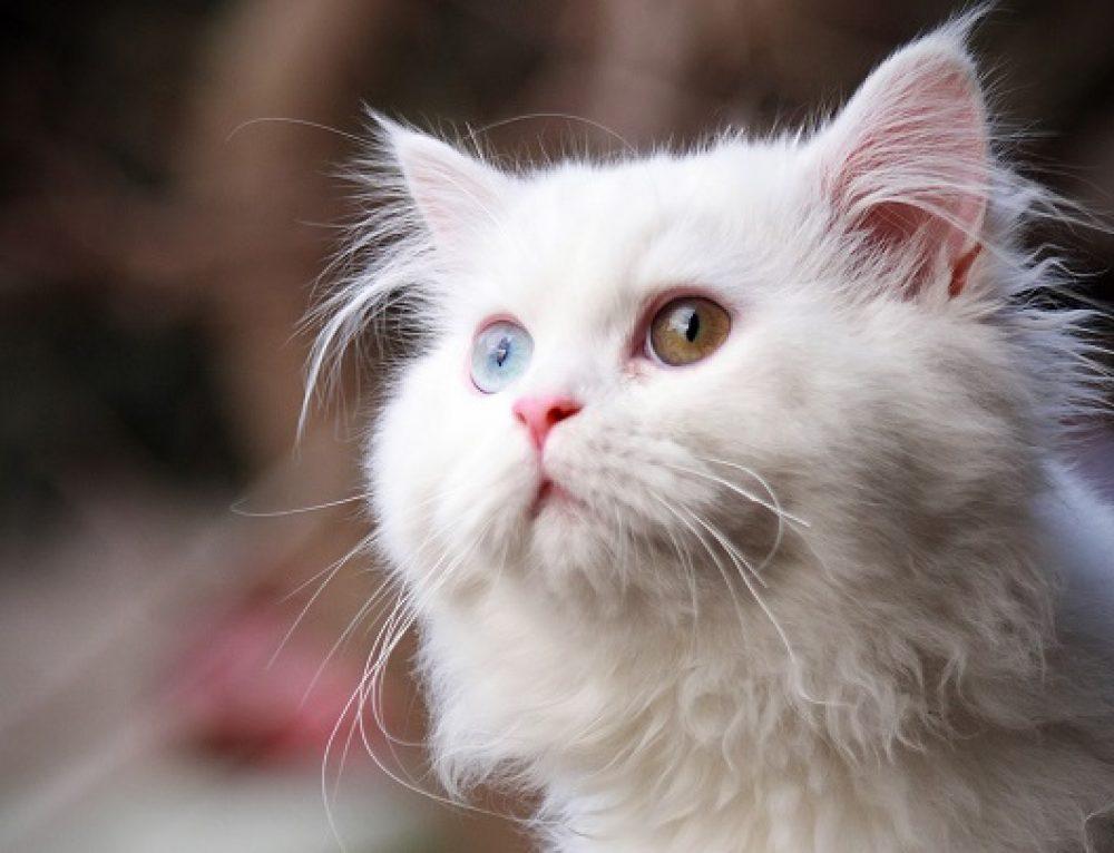 El sentido del oído en los gatos