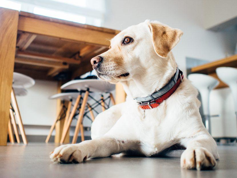 perro-en-casa-830x623