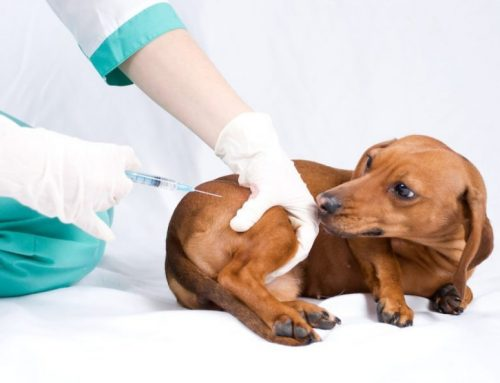Cuáles son las vacunas que debo ponerle a mi perro
