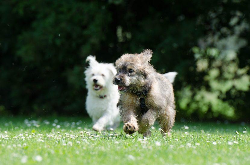 perros-corriendo-830x549