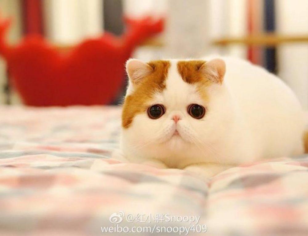 Snoopy, el gato chino más famoso de Internet