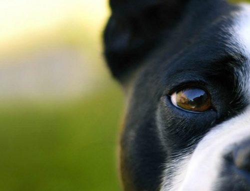 El sentido de la vista en los perros