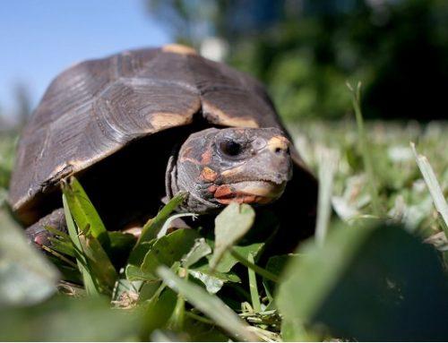 La fábula se hace realidad: una tortuga gana a una liebre en una carerra