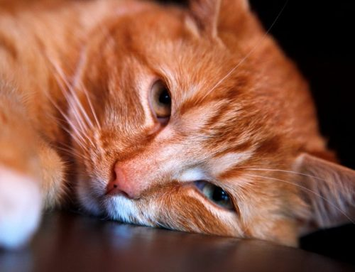 Por qué los gatos jadean