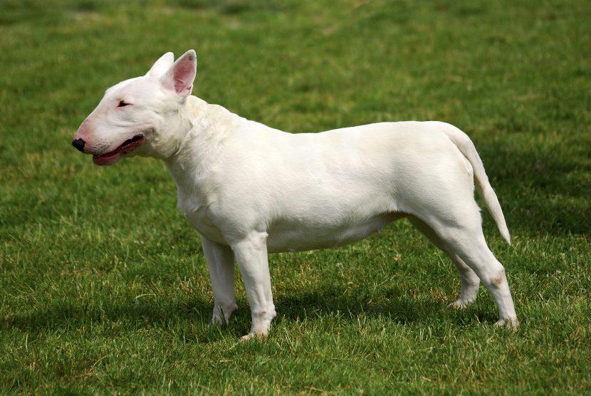 Cómo es el Bull Terrier inglés
