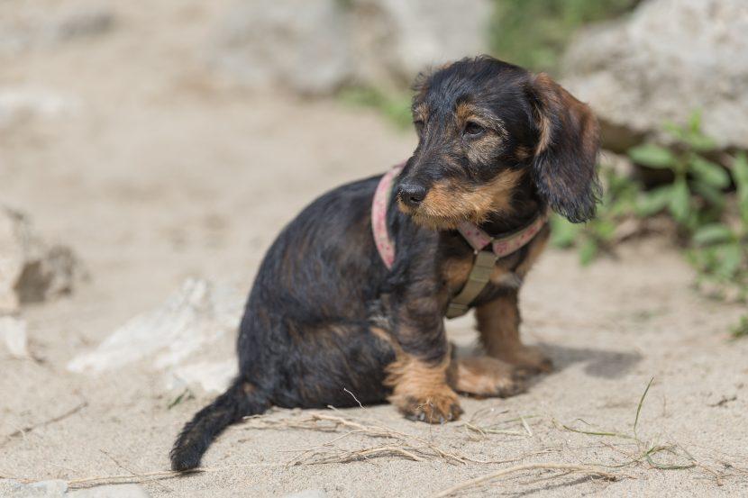 Cómo es la raza del perro Teckel