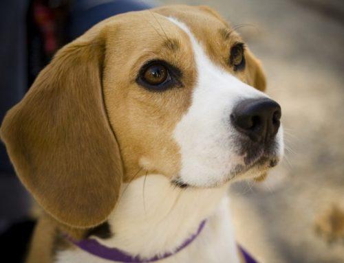 Cómo es un Beagle