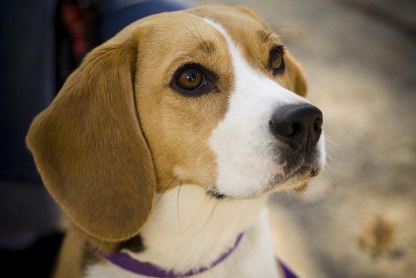 beagle-830x554