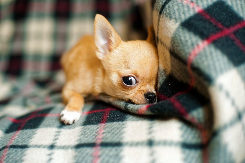 chihuahua-cachorro-830x552