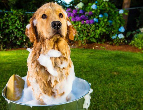 Cómo cuidar la piel del perro cada día
