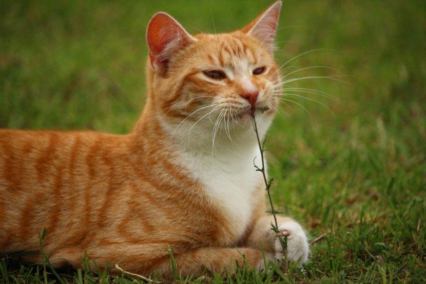 gato-naranja-comiendo-hierba-830x553