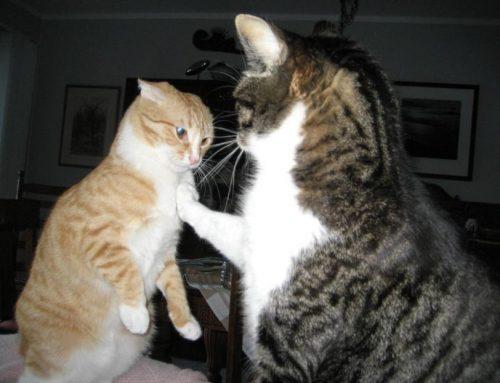 ¿Por qué mi gato ataca a mi otro gato de repente?