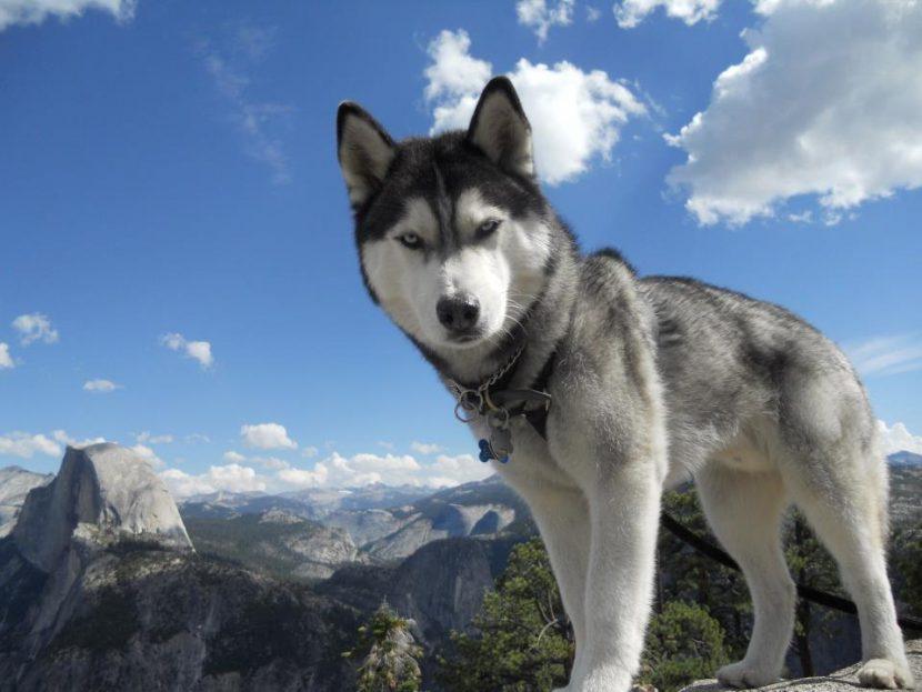 Cómo es un Husky Siberiano