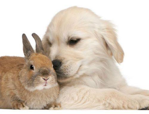 Cómo presentar adecuadamente a un perro y un conejo