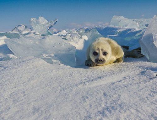 Hermosas fotos de una foca bebé
