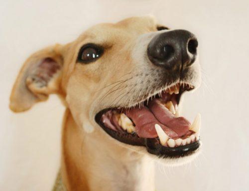 Cómo cuidar los dientes de mi perro