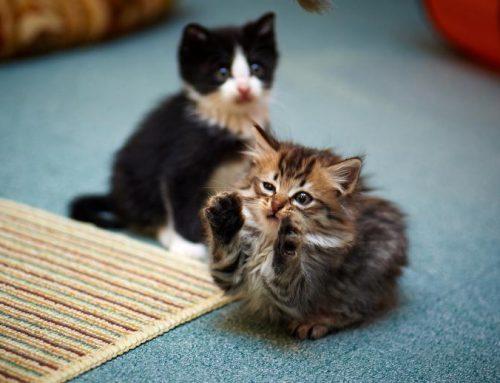 A qué juegan los gatos