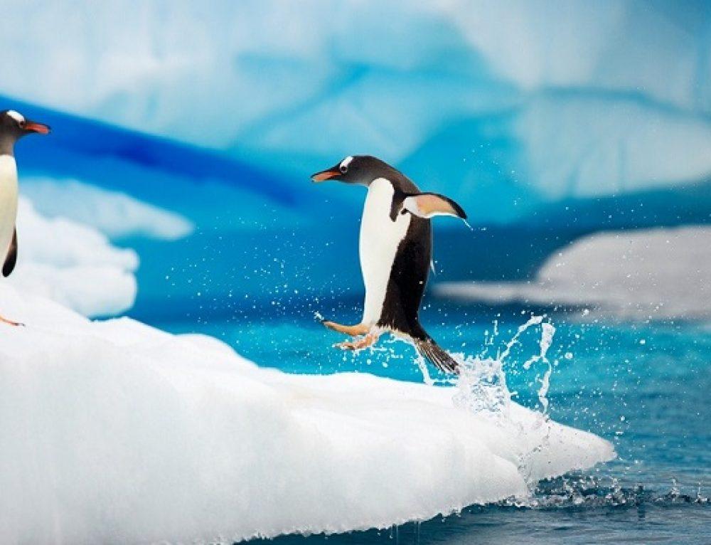 El miedo de una cría de pingüino al agua fría