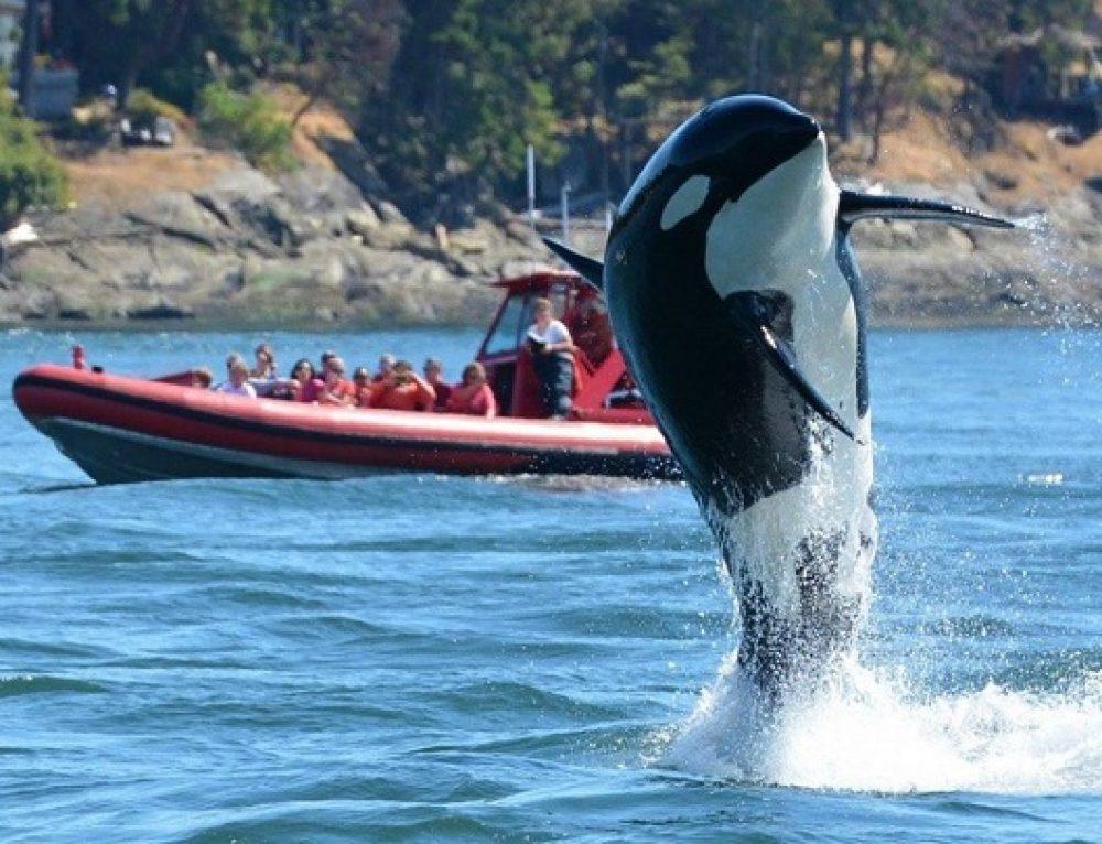 Muere la orca más vieja del mundo