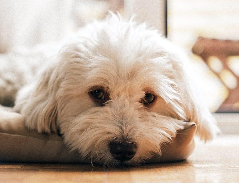 Cómo saber si tu perro está enfermo