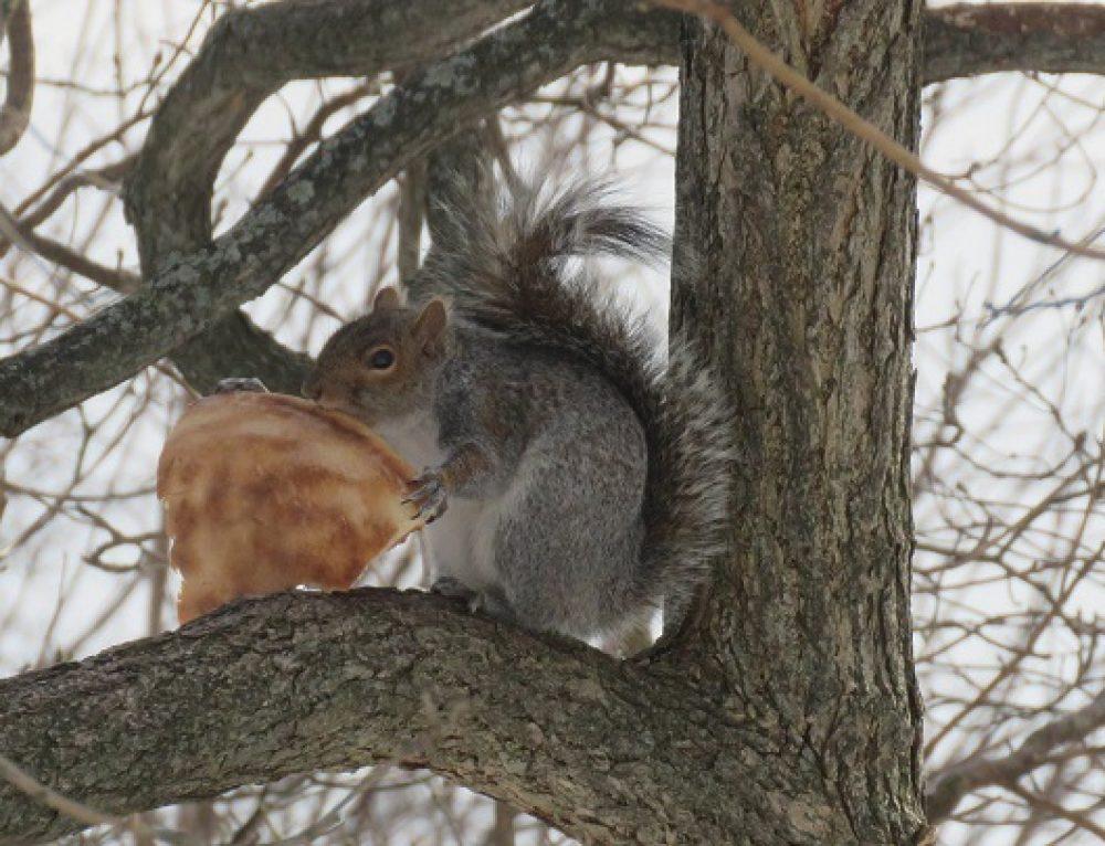 La divertida pelea entre una ardilla y un cuervo por un trozo de pizza