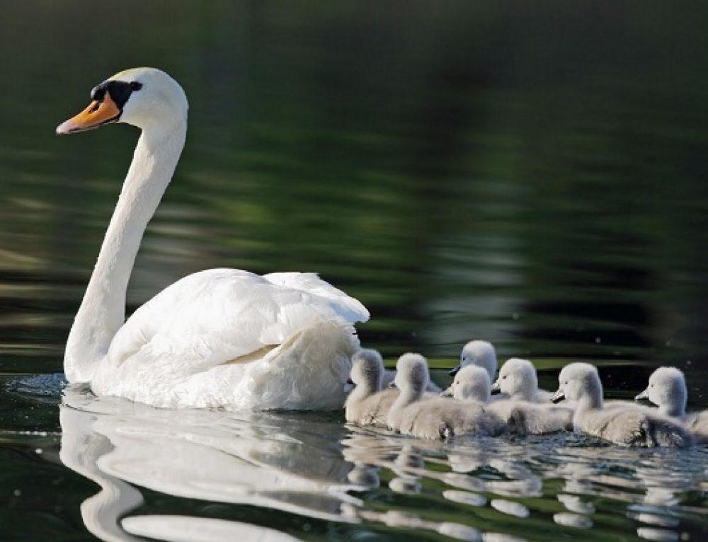 Un cisme limpia la basura de un estanque para poder nadar con sus crías