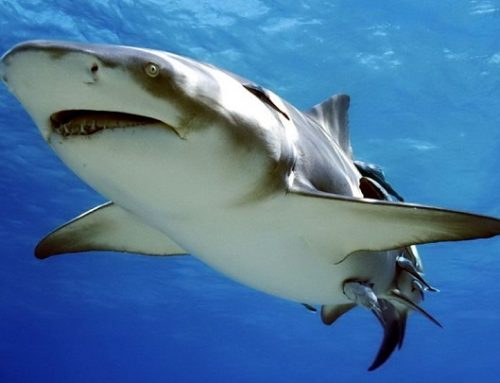 Vídeo de un tiburón herido pidiendo ayuda a un buceador