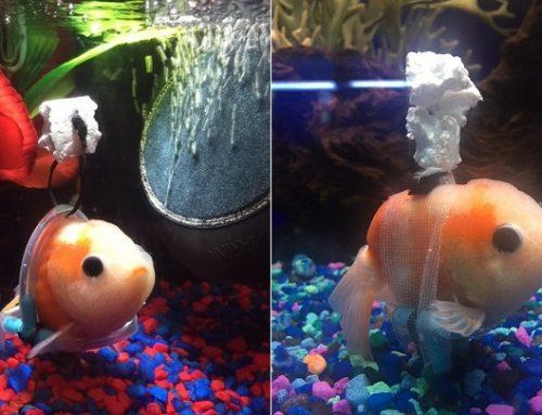 La silla de ruedas para peces que se ha convertido en viral