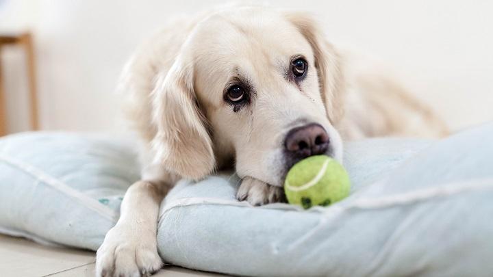 Cómo saber si el perro siente dolor