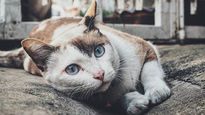 Tratamiento de la diabetes en gatos