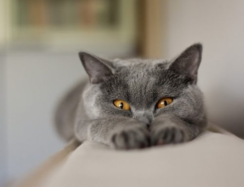 Cómo saber si el gato está contento
