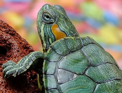 Ventajas e inconvenientes de tener una tortuga
