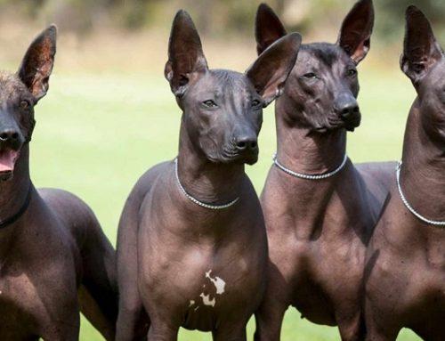 Los perros que sueltan menos pelo