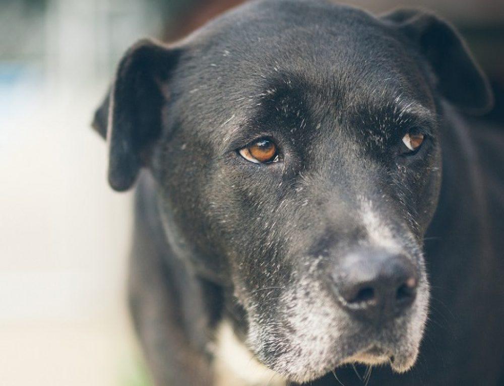 Síntomas del alzhéimer en perros